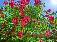 Biplantol Rose – der natürliche Dünger für Zierpflanzen